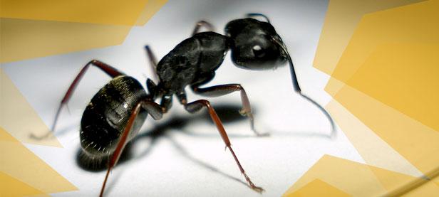 Traitement intérieur de fourmi charpentière