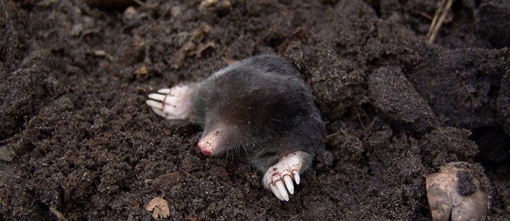 Why is it so hard to get rid of moles?
